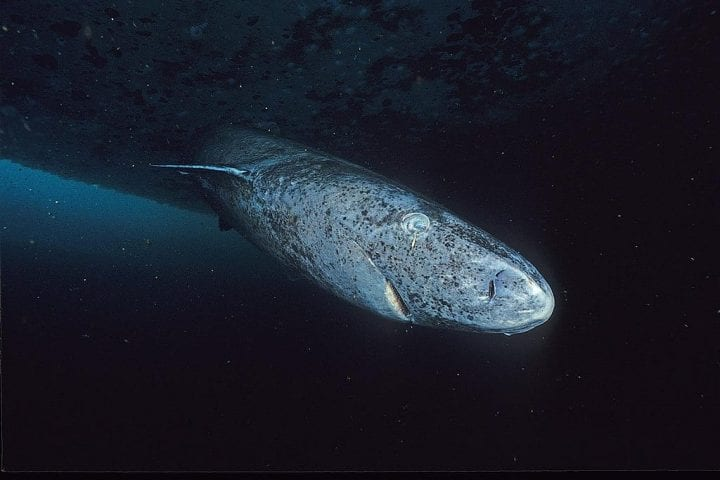 Greenland shark oldest animals