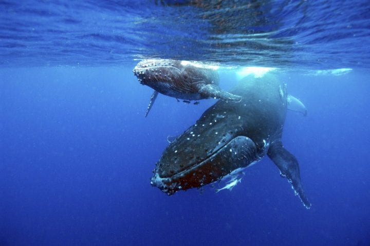 Humpback whale longest living animals