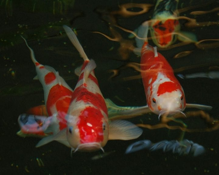 Koi fish oldest animals