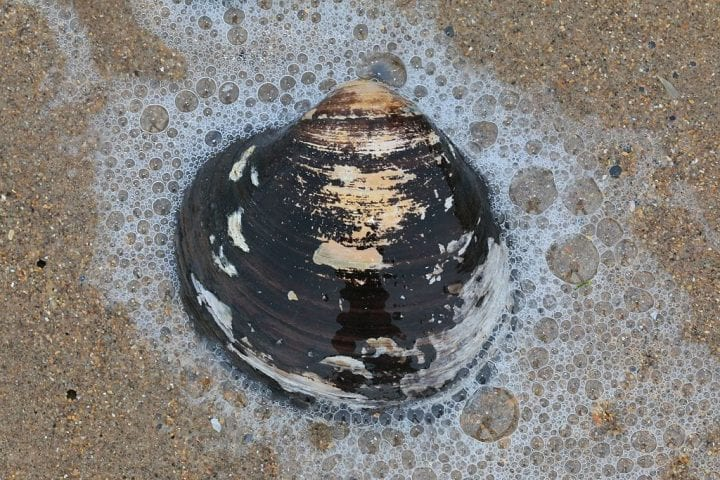 Ocean quahog clam really old animals