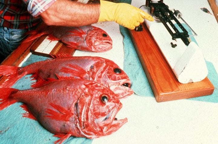 Orange roughy fish long lived animals