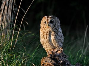 Tawny Owls have returned to the exclusion zone.