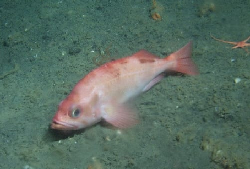 Pacific ocean perch longest living animals