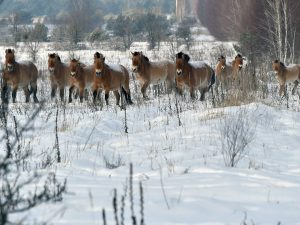 A photo taken on January 22, 2016 shows wild Przewalski's horses on a snow covered field in the Chernobyl exclusions zone.