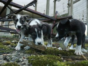Stray puppies play in an abandoned, partially-completed cooling tower inside the exclusion zone at the Chernobyl nuclear power plant on August 18, 2017 near Chernobyl, Ukraine.