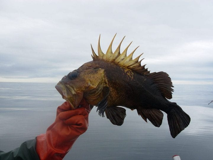 Quillback rockfish longest living animals lifespan