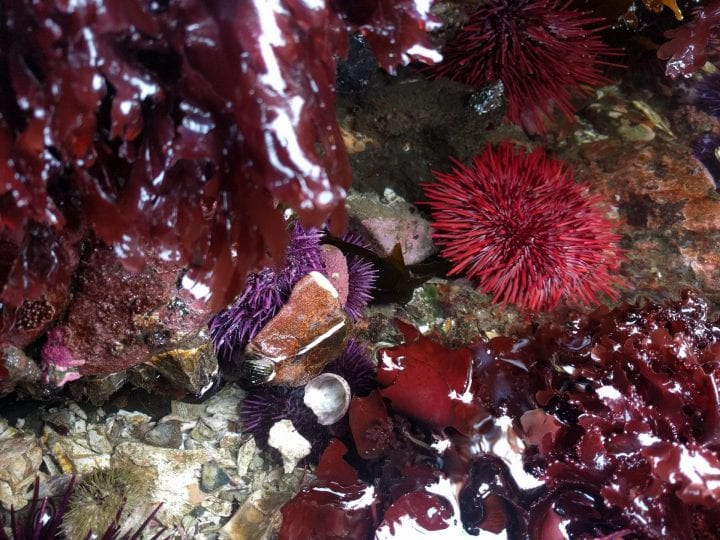 Red sea urchin longevity