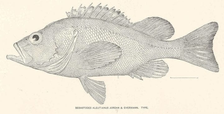 Rougheye rockfish oldest animals