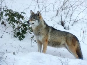 Wolf in snow, wolf population increasing, Chernobyl