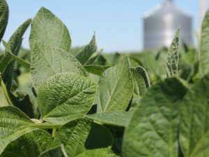 Soybean mutations, radiation resistant