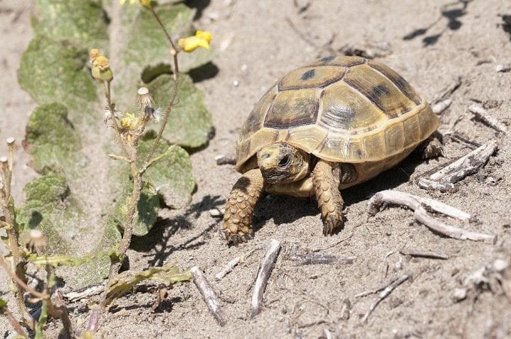Spur-thighed tortoise old animal