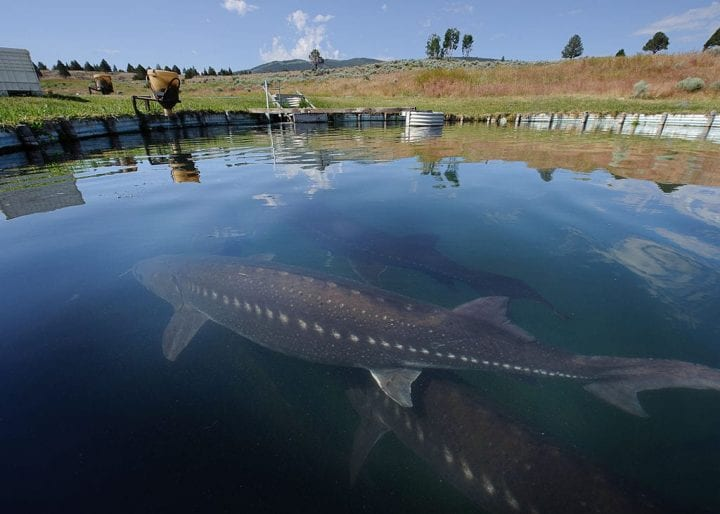 White sturgeon long lived animal