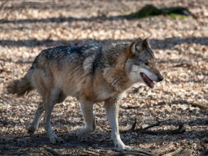 Wolf population growing in Chernobyl.