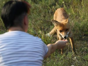 A visitor feeds a docile fox in the ghost town of Pripyat not far from the Chernobyl nuclear power plant.