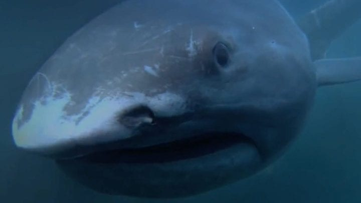 megamouth shark doing shark things