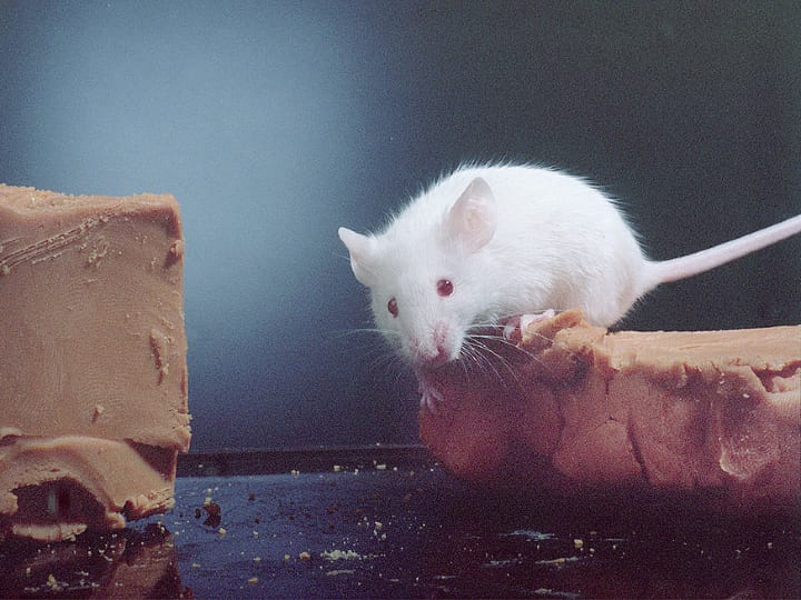 Mouse, Ancient Romans brushed their teeth with mouse brains