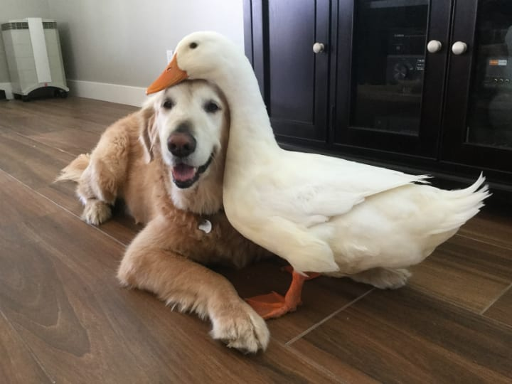 golden-retriever-duck-best-friend