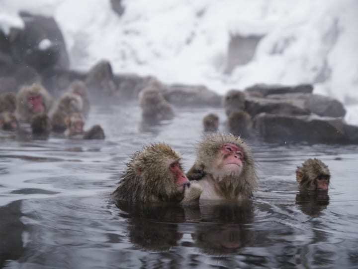 monkey-hot-springs