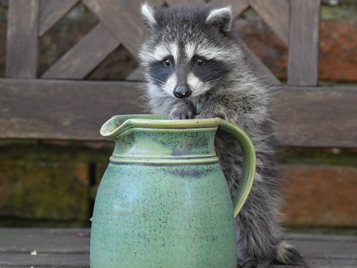 raccoon-garden