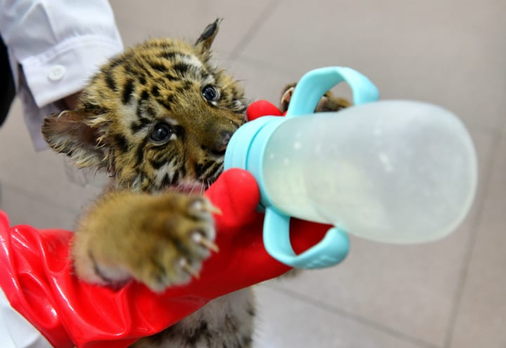 tiger-cub-fed-bottle