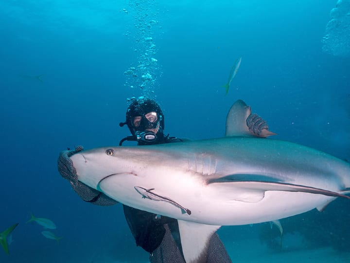 Tiger shark, Bahamas, dangerous beaches, deadly sharks