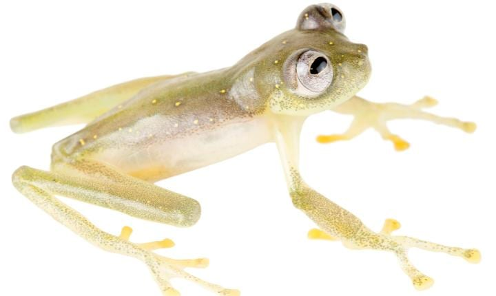 Newly identified species of glass frog already found to be at risk of extinction