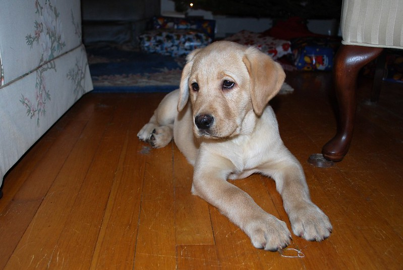 yellow labrador puppy laying on the floor