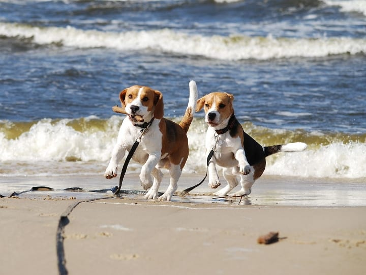 Beagles, small dogs, good dogs for seniors, apartment dogs