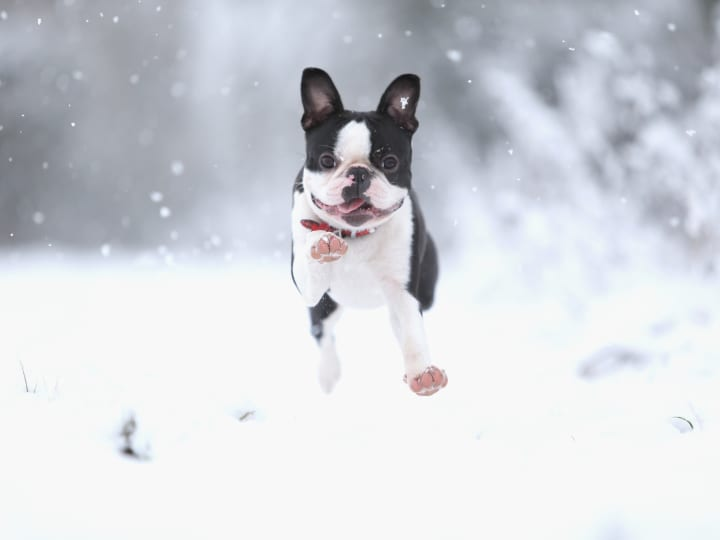 Boston Terrier, small dog, playful dog, dog breeds for seniors