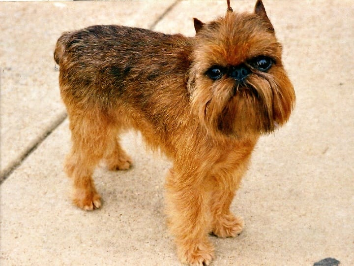 Brussels Griffon, little dog, lap dog, dogs for seniors