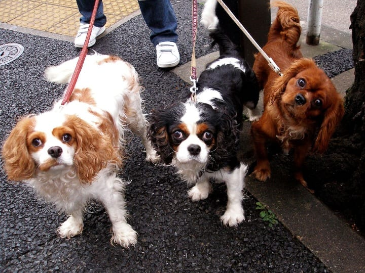 Cavalier King Charles Spaniel, small dog, dog breeds for seniors