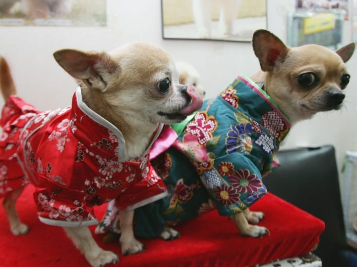 Chihuahua, good pets for seniors, dogs in apartments