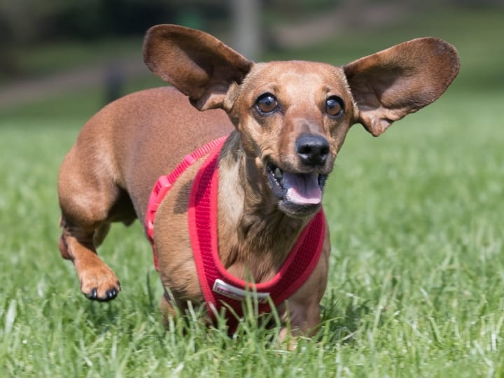 Dachshund, small dog, dogs for seniors