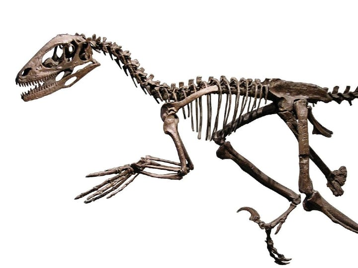 Deinonychus, skeleton, amazing discovery