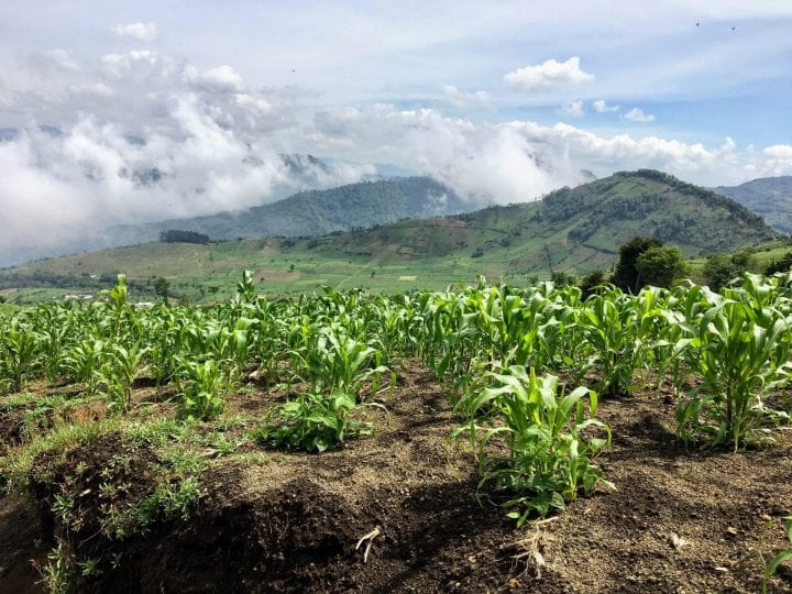 The vast corn fields in the hills of Guatemala, outside of Antigua. These fields are at the base of mount Acatenango, a dormant volcano many tourists hike.