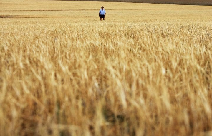 PARKES, AUSTRALIA - OCTOBER 25: Farmer John Magill inspects his dead barley crop October 25, 2006 in Parkes, Australia. Over half of Australia's farmland is in drought, which is being described as the worst on record. Around 92 percent of Australia's most populous state, New South Wales, is considered officially in drought, with no rain falling in some areas for nearly six years, causing huge problems especially for grain crops such as wheat and barley. Farmers have been forced to allow livestock to graze on the failed crops, as harvesting the limited growth would not be practical. Forecasters predict that Australia's wheat crop in the financial year to the end of June 2007 is set to fall to less than half of the previous year's 25 million tonnes, with Australian Treasurer Peter Costello saying that rural Australia is in recession. In an attempt to help the hardest drought-hit areas, the Australian government will provide an extra AUD$560 million (USD$424 million) on top of AUD$350 million (USD$266 million) in aid announced a week ago. The drought has also seen a rise is farmer suicides in rural Australia, with one farmer taking their own life every four days on average. (