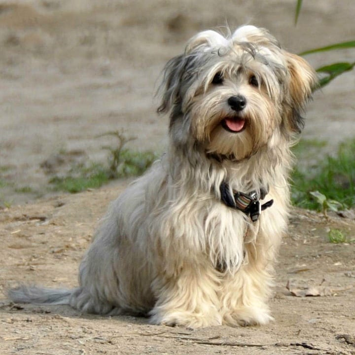 Havanese, dog, small dog, dog breeds for seniors