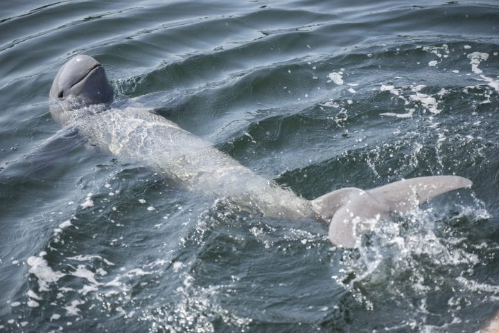 Irrawaddy river dolphin endangered species freshwater