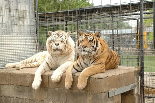 Kenny the Tiger and Willie