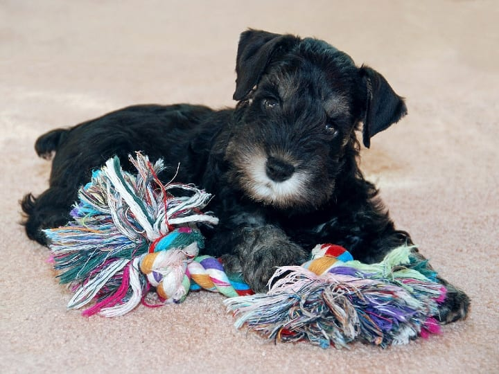 Miniature Schnauzer, small dog, apartment dog, dog for seniors