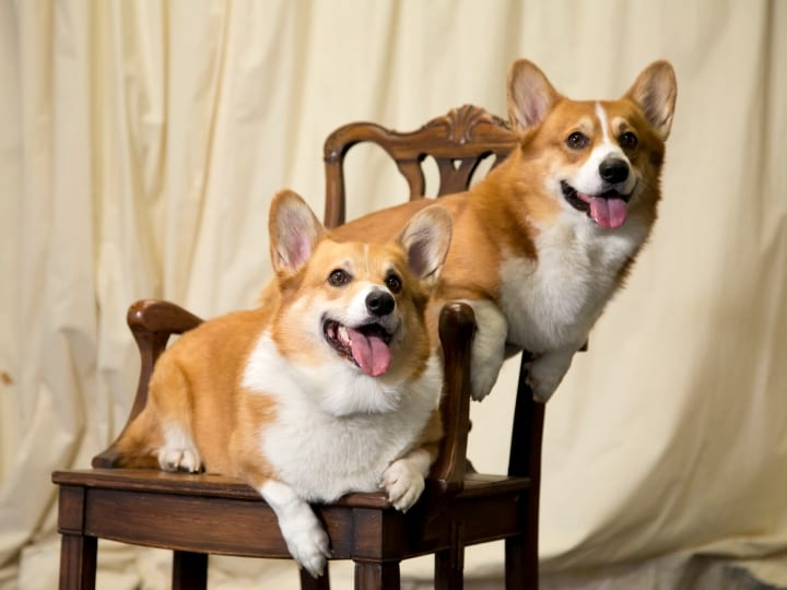 Corgis, good dogs, dogs for seniors, apartment dogs