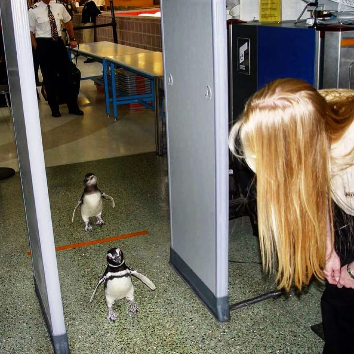 Penguins pass through TSA, scanner, customs