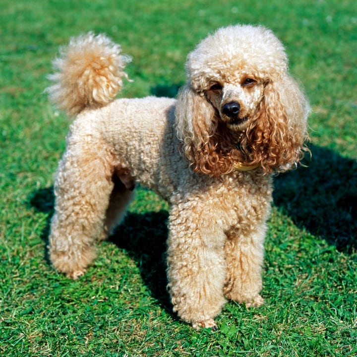 Poodle, apartment dogs, lap dog, good dogs for seniors