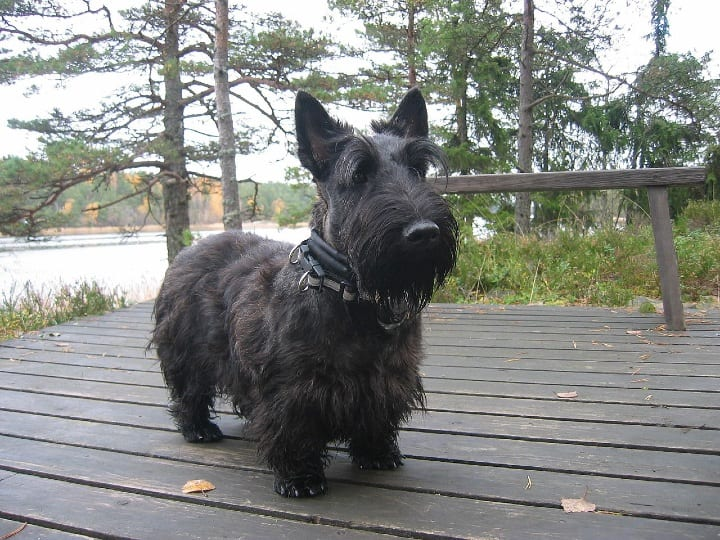 Scottish Terrier, small dogs, good breeds for seniors