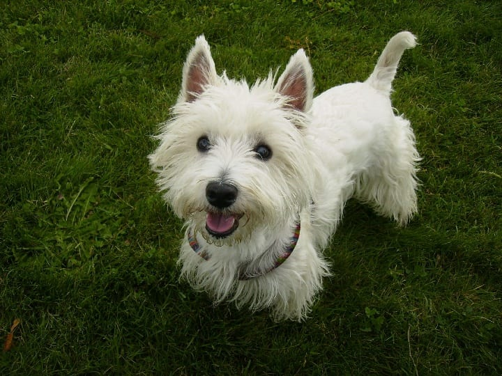 West Highland White Terrier. little dog, dog for seniors