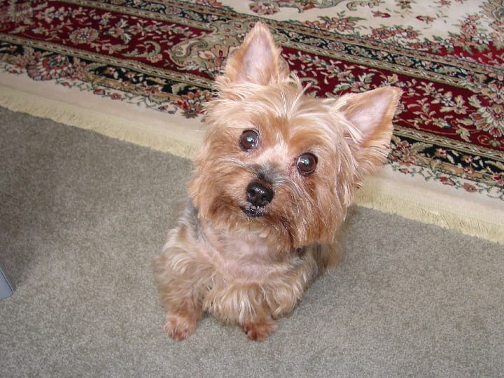 Yorkshire Terrier, Yorkie, small dog, dog breeds for seniors