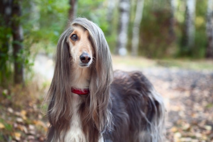 An Afghan Hound showing off its long hair