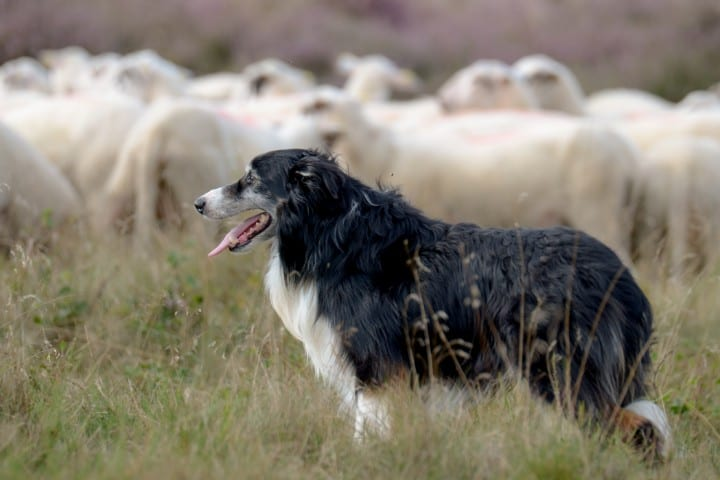 An Australian Shepherd herding sheep