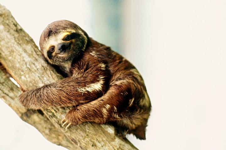 A Brazilian three-toed sloth hanging on to a branch