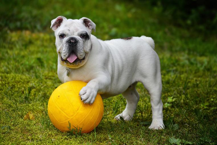 bulldog with its paw on a yellow ball